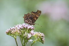 Comma butterfly closeup Stock Photography