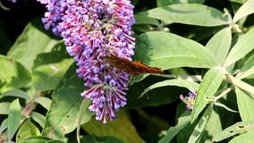Comma butterfly drinking nectar in pink Buddleja flower stock video footage