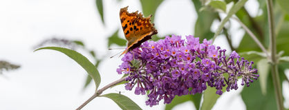 Comma butterfly feeding on purple Buddleia flower. Banner. Stock Photo