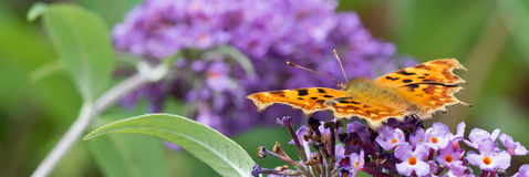 Comma butterfly feeding on purple Buddleia flower. Banner. Stock Images