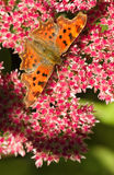 Comma butterfly feeding on Sedum Stock Image