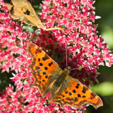 Comma butterfly feeding on Sedum. Comma butterfly or Polygonia c-album feeding on Sedum flowers in summersun Royalty Free Stock Photography