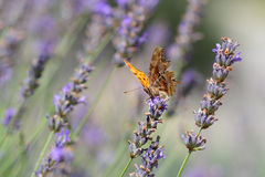 The Comma butterfly in a field of lavender Stock Photography