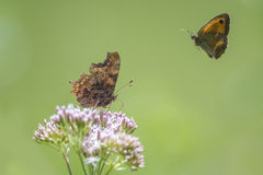 Comma butterfly and gatekeeper in flight Royalty Free Stock Image