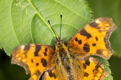 Comma butterfly from Germany Stock Image
