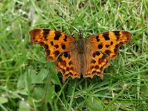 Comma butterfly on grass with wings open. Comma butterfly resting on a grass lawn with open wings royalty free stock photography