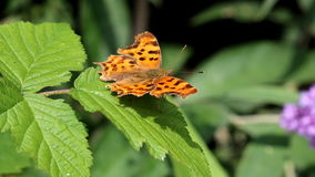 Comma butterfly upon green leaf, Holland stock video