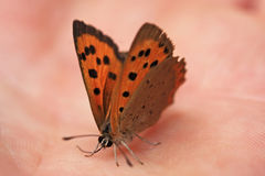 Comma butterfly Royalty Free Stock Images