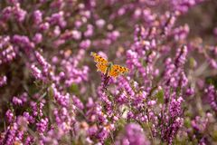 Comma Butterfly on heather royalty free stock photo