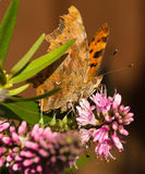 Comma Butterfly on Hebe Flower Royalty Free Stock Photography