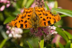 Comma Butterfly on Hebe Flower Stock Photography