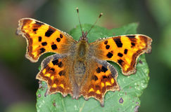 Comma butterfly in late autumn sun Royalty Free Stock Photos