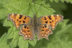 A comma butterfly on a leaf stock photo
