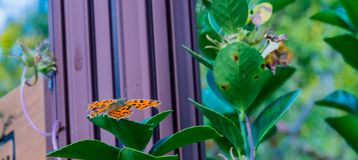 The comma butterfly on leaf of green plant Royalty Free Stock Photos