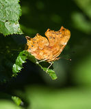 Comma butterfly Royalty Free Stock Image
