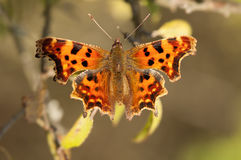 Comma butterfly Stock Photography
