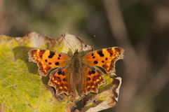 Comma butterfly. Macro detail of  Comma butterfly also called Anglewings Polygonia resting on a withered vine leaf Royalty Free Stock Image
