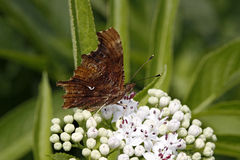 Comma butterfly, Nymphalis c-album Stock Image
