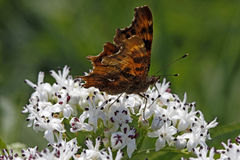 Comma butterfly (Nymphalis c-album, Polygonia c-al Royalty Free Stock Photos