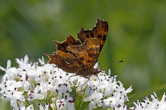Comma butterfly (Nymphalis c-album, Polygonia c-album) Stock Images