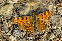 Comma butterfly (Nymphalis c-album, Polygonia c-album) from Germany Stock Photo