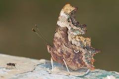 Comma butterfly / Poligonia C-album Royalty Free Stock Image