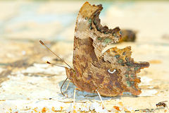 Comma butterfly / Poligonia C-album Stock Photo