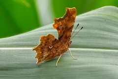 Comma Butterfly  - Polygonia c-album