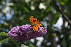 Comma Butterfly. A Comma Butterfly, Polygonia c-album, feeding from a Buddleia bush, England Stock Photography