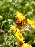 Comma Butterfly & x28;Polygonia c-album& x29; on Flower Outside Head, Eyes Stock Image