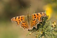 Comma butterfly, Polygonia c-album. On gorse Stock Photos