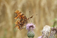 A Comma Butterfly Polygonia c-album, nectaring on a thistle flower. Royalty Free Stock Photography