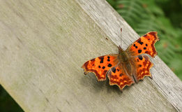 A Comma Butterfly Polygonia c-album perched on a fence post. Royalty Free Stock Photography