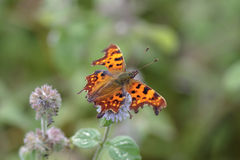 Comma butterfly (Polygonia c-album). Comma butterfly perched on a flower Stock Photography