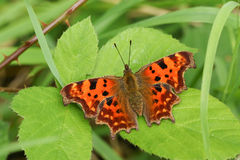 A Comma Butterfly Polygonia c-album perched on a leaf. Stock Images
