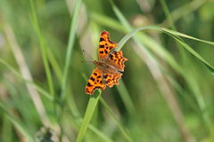Comma Butterfly (Polygonia c-album). This picture shows a comma butterfly settled on a green blade of grass. The butterfly has it's wings open, showing the Stock Image