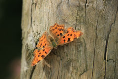 Comma Butterfly Stock Image