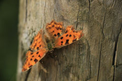 Comma Butterfly Royalty Free Stock Photography