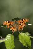 Comma butterfly, Polygonia c-album Royalty Free Stock Image