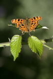 Comma butterfly, Polygonia c-album Stock Photo