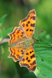 Comma Butterfly (Polygonia c-album) sitting on leaf Royalty Free Stock Photo