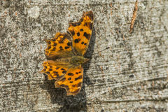 Comma butterfly (Polygonia c-album) Stock Image