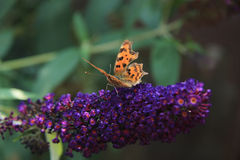 Comma butterfly or Polygonia C Album Royalty Free Stock Photo