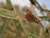 Comma butterfly on reed Royalty Free Stock Image