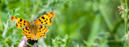 Comma butterfly at rest Stock Photo