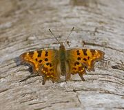 Comma Butterfly resting Stock Photography