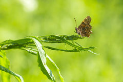 Comma butterfly resting in grassland Stock Photos