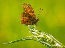 Comma butterfly resting in grassland Royalty Free Stock Photo