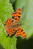Comma butterfly resting on green leaf. Comma butterfly in the sunshine resting on green leaf Royalty Free Stock Image