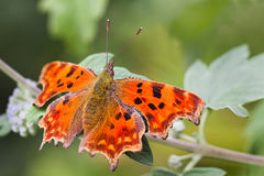 Comma butterfly resting on green leaf Royalty Free Stock Photo
